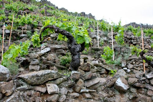 Guimaro vines